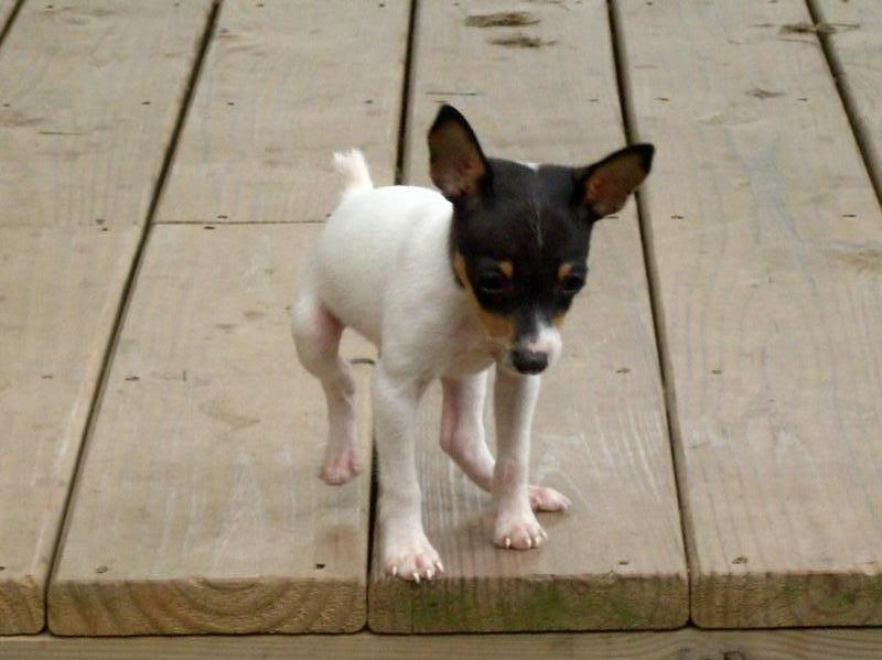 Toy Fox Terrier dog puppy